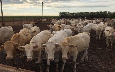 Avaliação da raça Canchim é feita pela primeira vez com tecnologia que calcula a curva de lucro por animal
